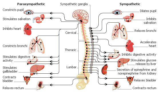 The autonomic nervous system ans hyperhidrosis and facial blushing depending on the situation one or the other of these two subsystems will be predominant in its activity the parasympathetic nervous system increases ccuart Gallery